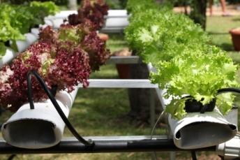 culture hors-sol de salades