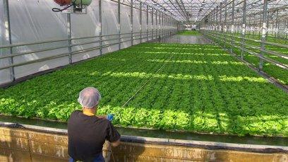 salades-hydroponie-serre-usine