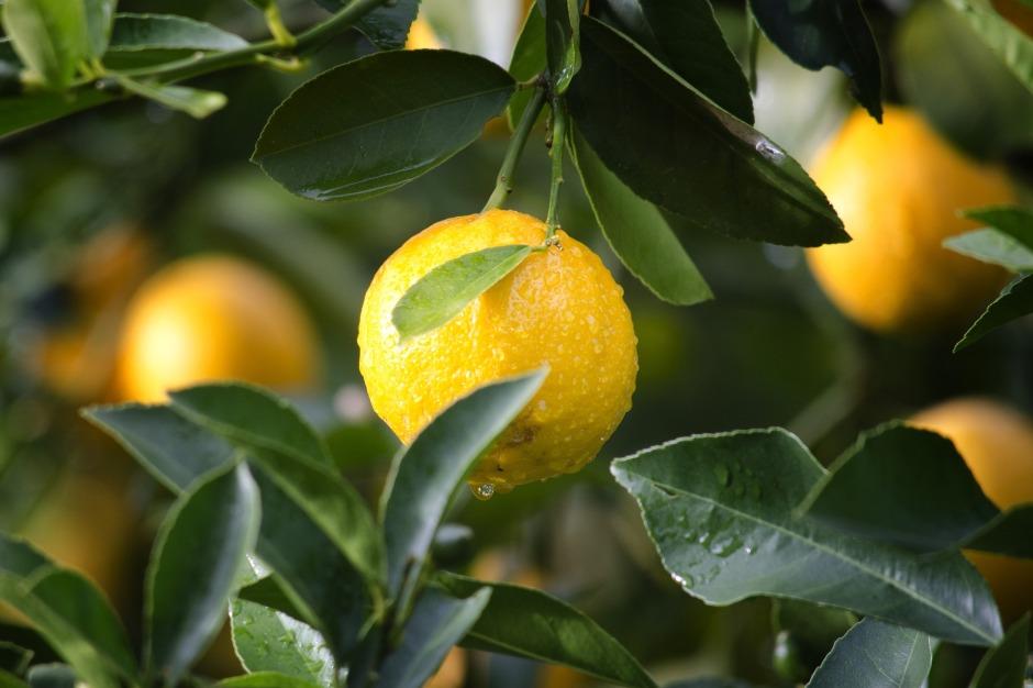 citron, citron bio
